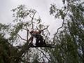 Elagage d'un arbre en hauteur à Espaly