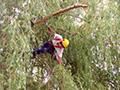 Elagage d'un arbre en hauteur au Puy-en-Velay